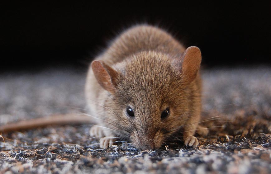 How Common is Rodent Infestation in Orange County Cities?